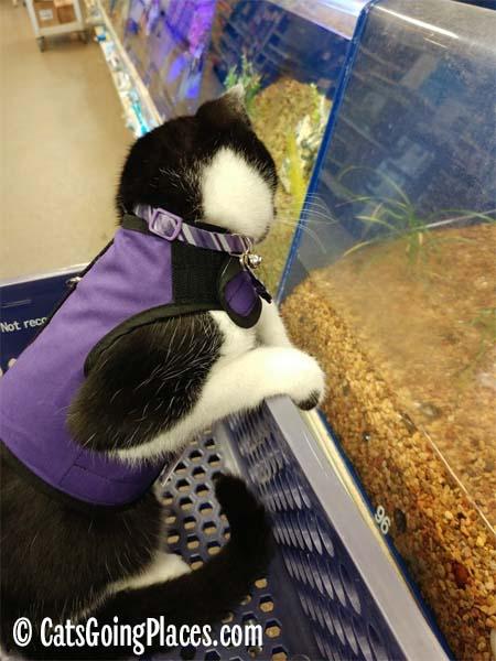black and white tuxedo kitten looks at pet store fish
