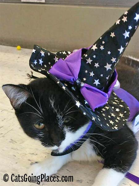 black and white tuxedo kitten models witch hat costume