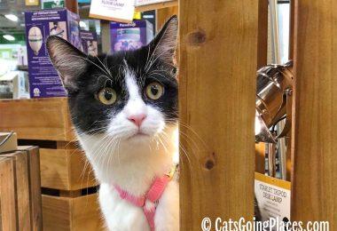 black and white tuxedo kitten peeks around wooden display edge