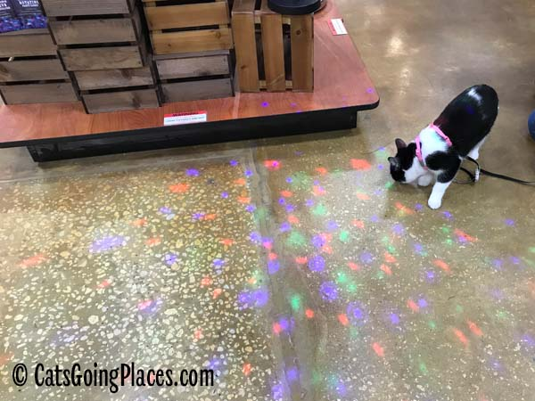 black and white tuxedo kitten looks at light show on floor