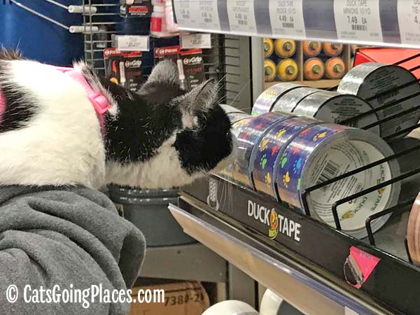 black and white tuxedo kitten sniffs duck tape