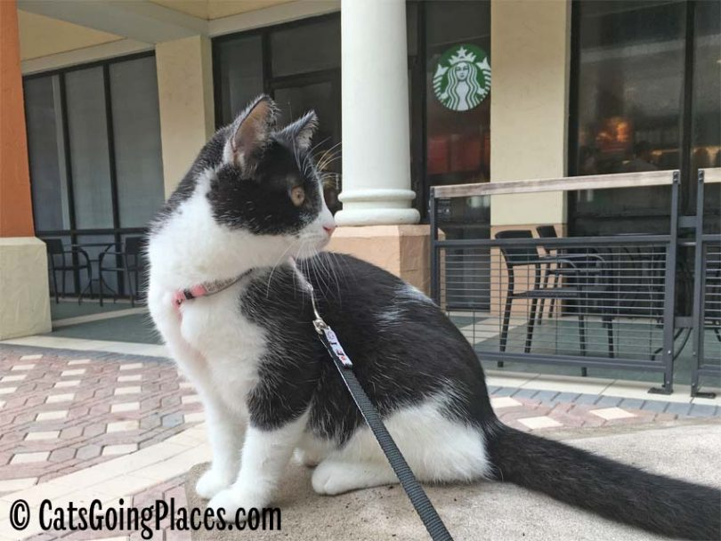 black and white tuxedo cat sits outside Starbucks