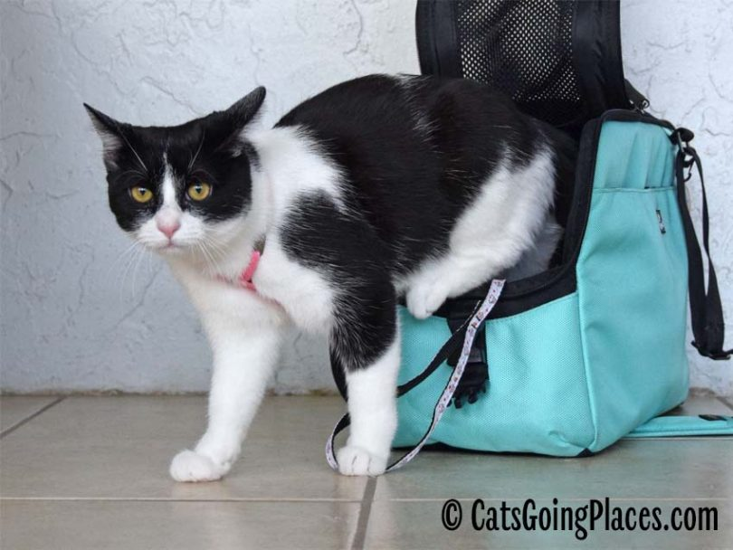 black and white tuxedo cat exiting cat carrier