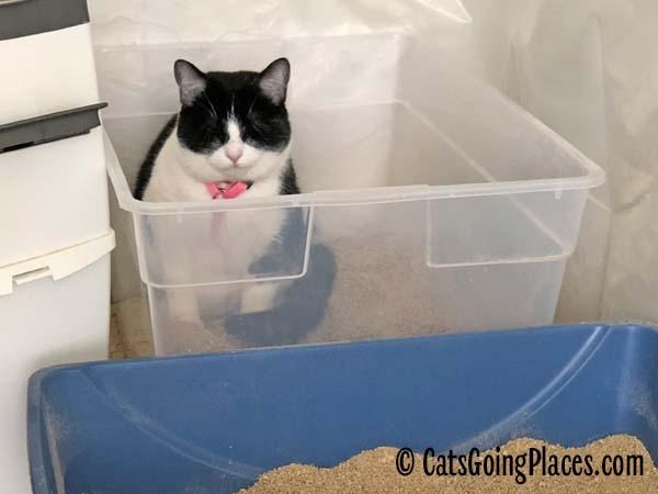 black and white tuxedo kitten sits in litter box