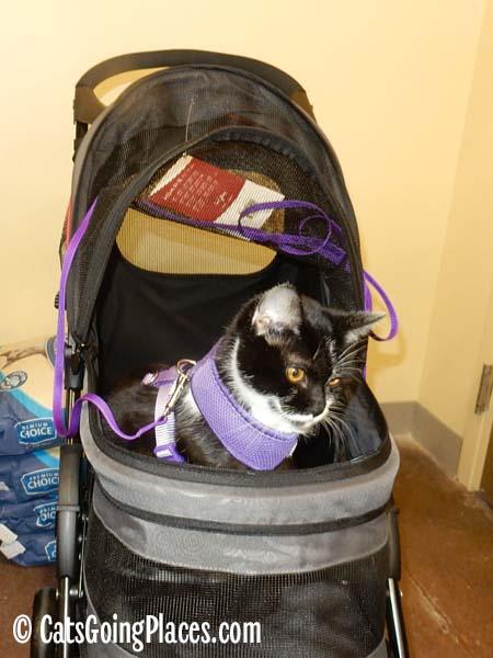 black and white tuxedo kitten in stroller