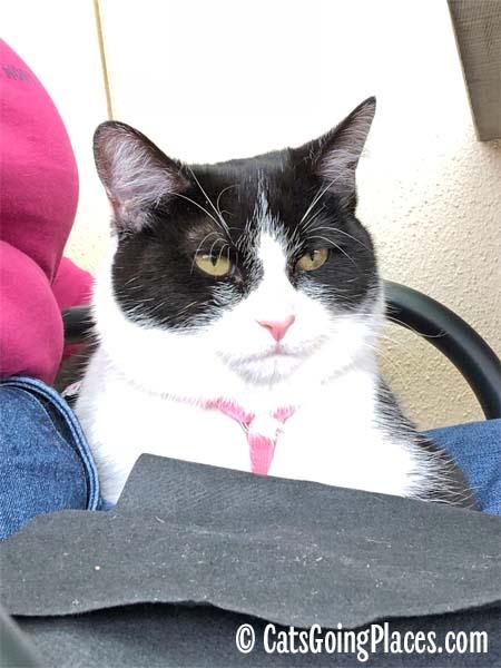 black and white tuxedo kitten on lap