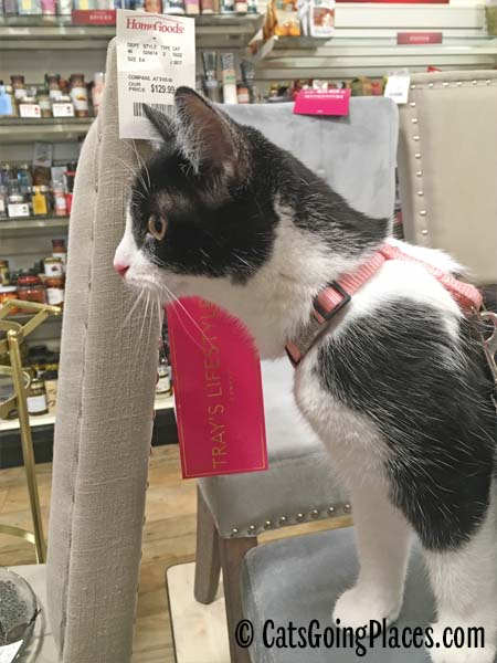 black and white tuxedo kitten on chair in Homegoods