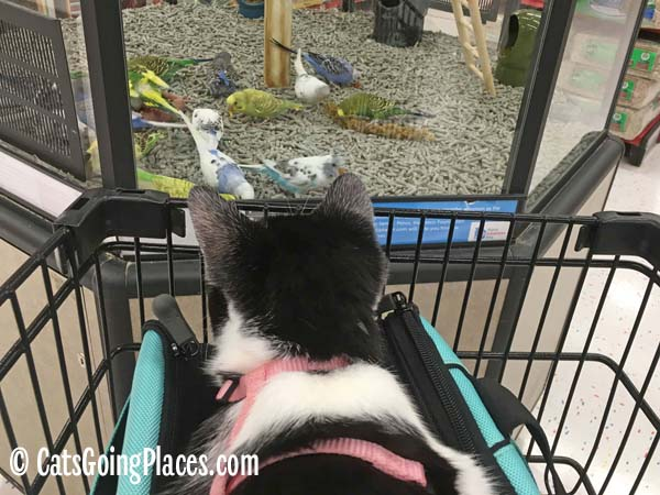 black and white tuxedo kitten rides atop cat carrier in shopping cart