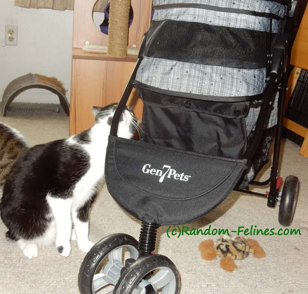 black and white tuxedo cat sniffs stroller