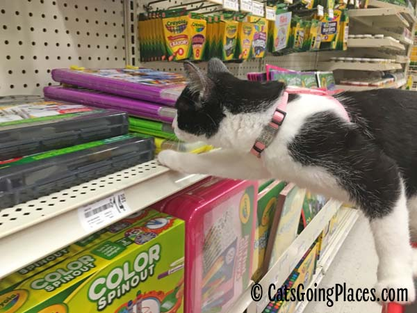 black and white tuxedo kitten wears harness with tag attached to collar
