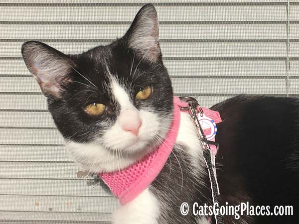 black and white tuxedo kitten wears harness with tag attached to D ring