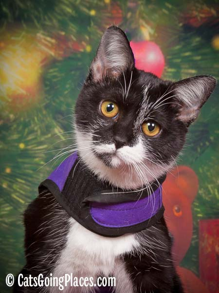 black and white tuxedo kitten wearing purple harness