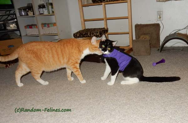 orange tabby cat sniffs black and white tuxedo kitten wearing purple kitty holster