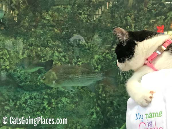 black and white tuxedo cat looks at fish swimming in tank
