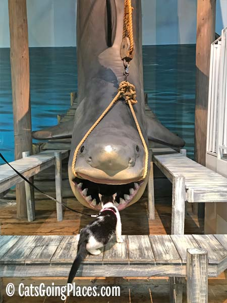 black and white tuxedo cat looks at shark