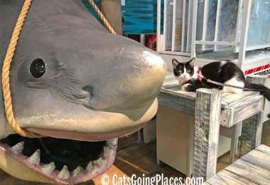 black and white tuxedo cat poses next to shark