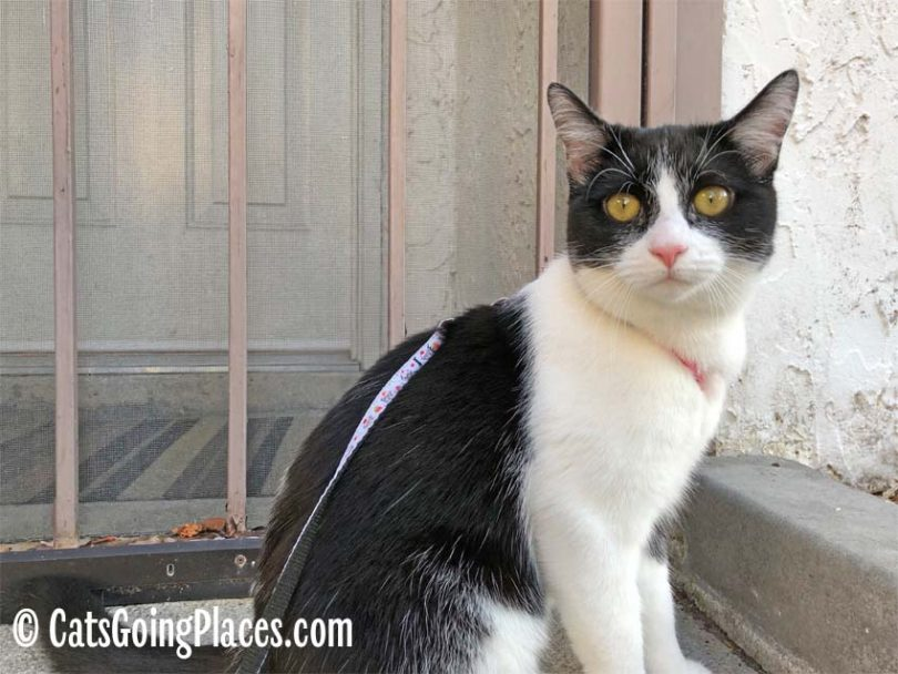 black and white tuxedo cat stands outside barred door