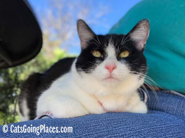 black and white tuxedo cat sits on a lap outdoors
