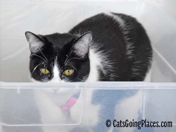 black and white tuxedo cat in litter box