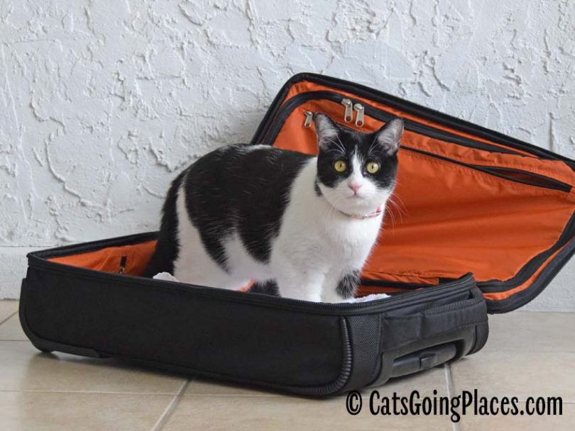 black and white tuxedo cat stands inside open luggage