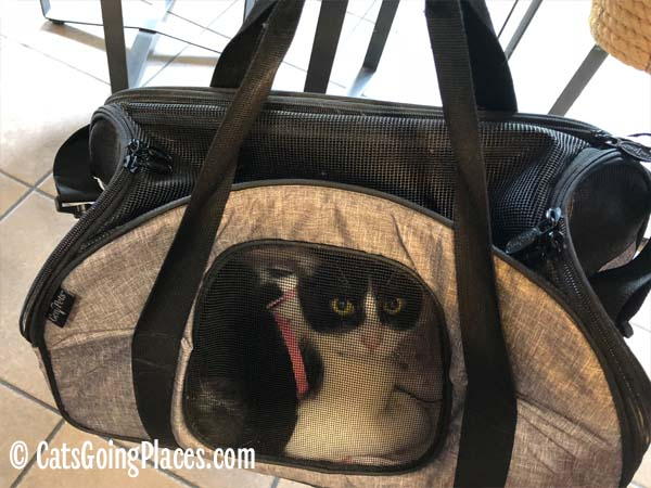 tuxedo cat looks out of carrier
