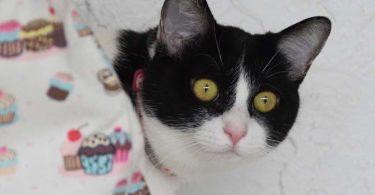 black and white tuxedo cat looks around cupcake-themed bag