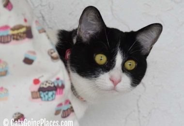 black and white tuxedo cat looks around cupcake-themed bag