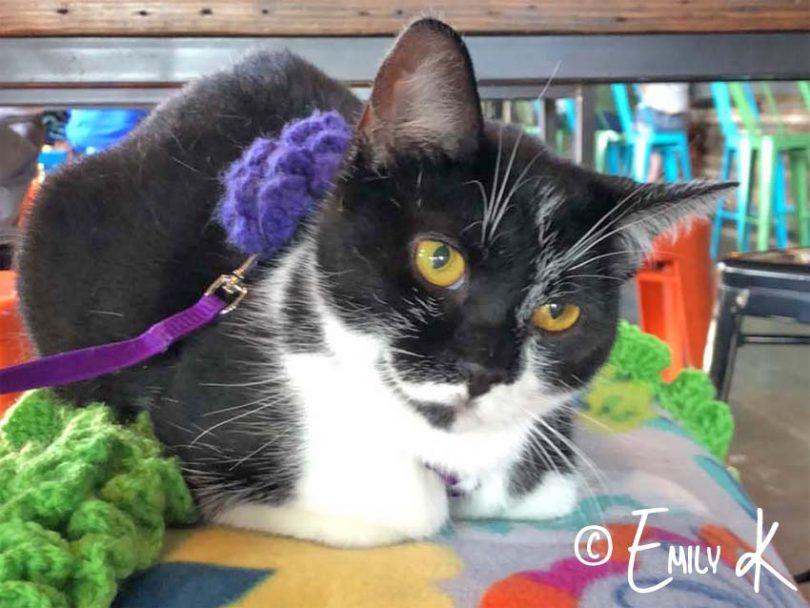black and white tuxedo cat sits on barstool. Photo credit: Emily K.