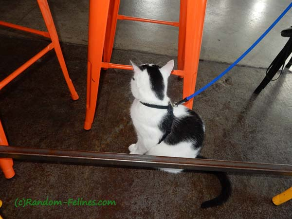black and white adoptable kitten on leash
