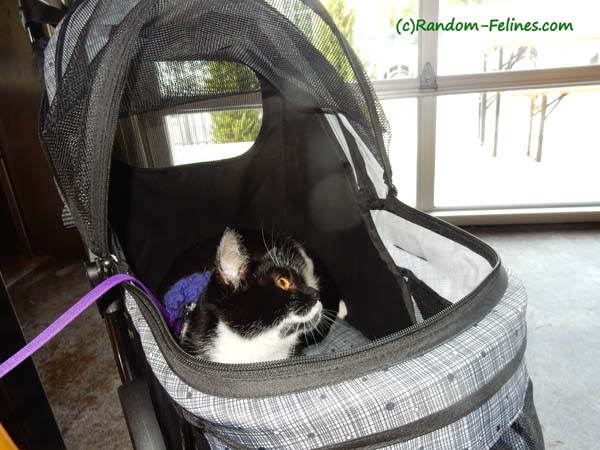 black and white tuxedo cat in stroller