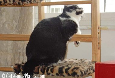 black and white tuxedo cat leans through ladder cat tree