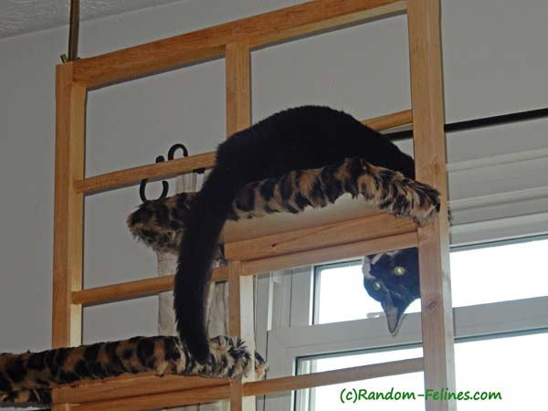 black and white tuxedo cat dangles over cat ladder