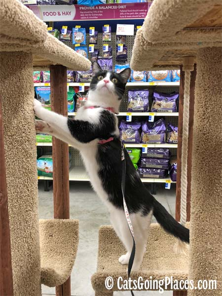 black and white tuxedo cat climbs cat tree display