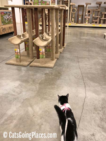 black and white tuxedo cat walks toward cat tree display