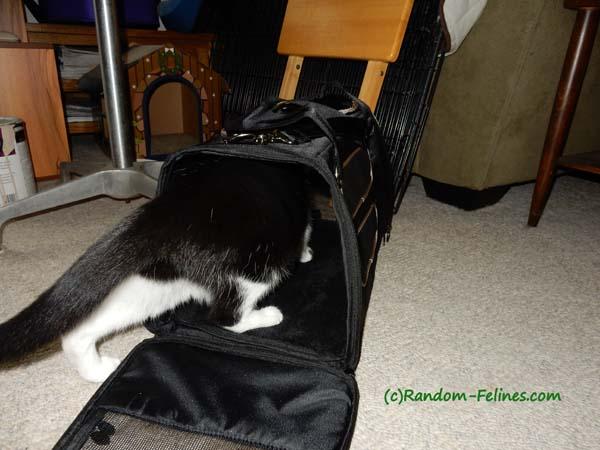 black and white tuxedo cat enters Gen7 Commuter Carrier