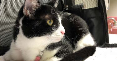 black and white tuxedo cat sits in carrier at vet