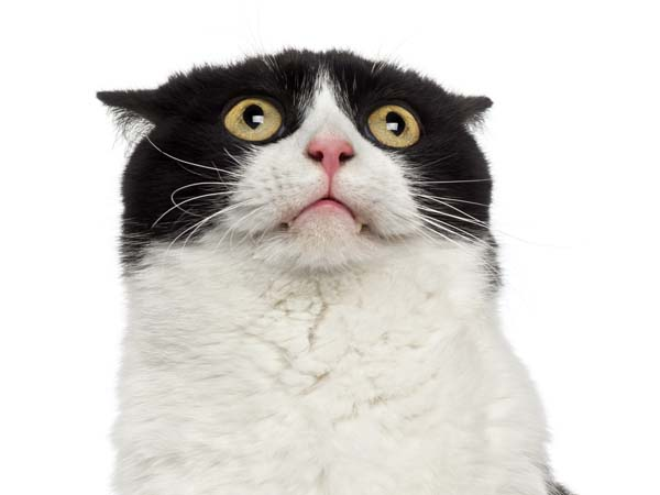 Stressed-out tuxedo cat demonstrates flattened ears. Photo credit: depositphotos/lifeonwhite