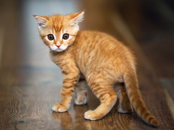 A stressed out kitten carries his tail low to the ground rather than upright. Photo credit: depositphotos/Serg35