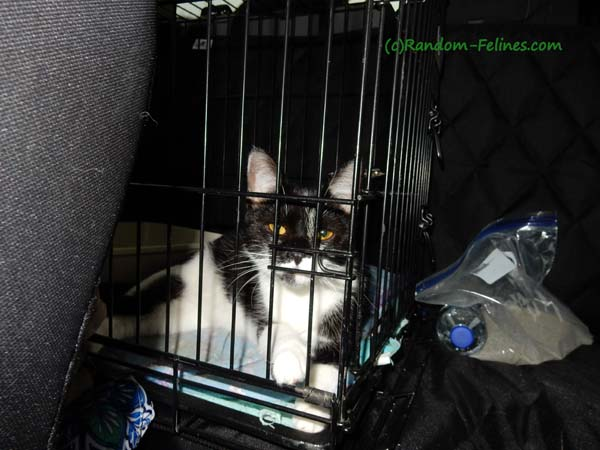 black and white tuxedo cat in wire cage travels in back seat
