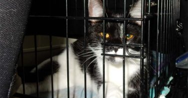 black and white tuxedo cat looks out of wire crate