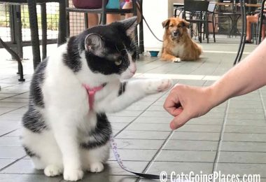 black and white tuxedo cat does a fist bump as a dog looks on