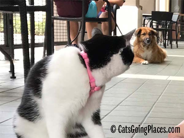 black and white tuxedo cat looks at brown dog