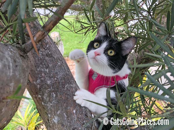 black and white tuxedo cat climbs tree