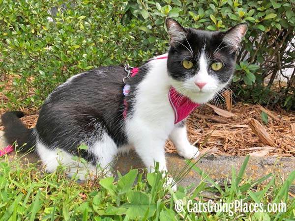 black and white tuxedo cat sits outdoors wearing rc pets harness