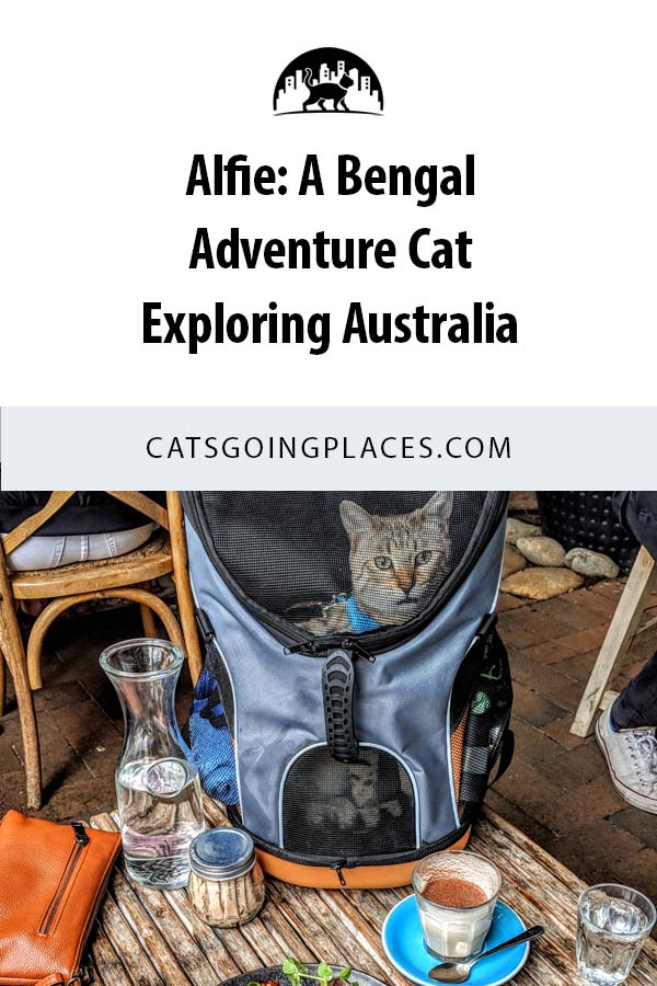 Alfie is a Bengal cat exploring Australia with his human. #adventurecat #catsgoingplaces