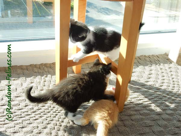 black and white tuxedo kittens play with orange tabby kitten