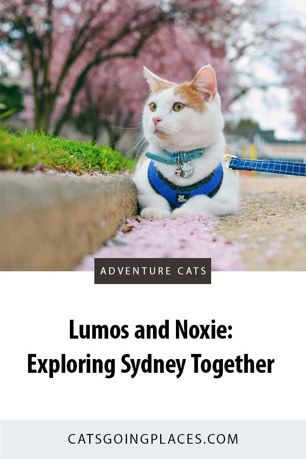 Lumos and Noxie are a pair of cats exploring Sydney, Australia together. #catsgoingplaces #adventurecats #catonaleash