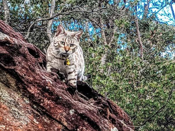 Bengal cat climbs on rock