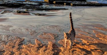 Bengal cat runs on beach