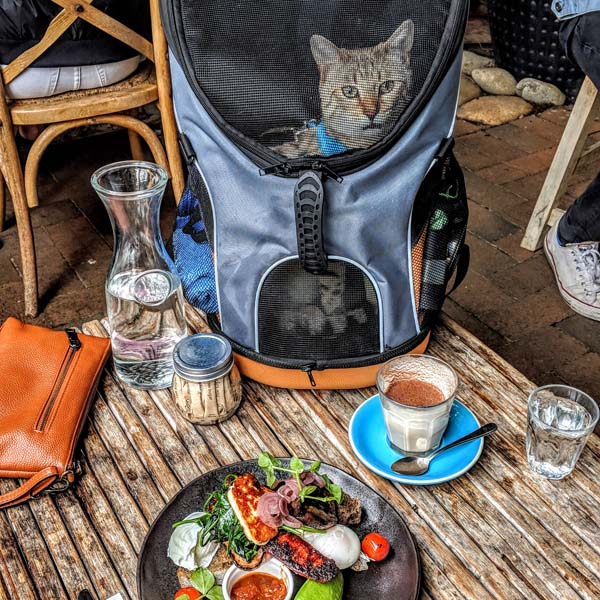 Bengal cat in backpack next to food